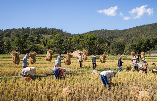 Thai_Rice_harvesting